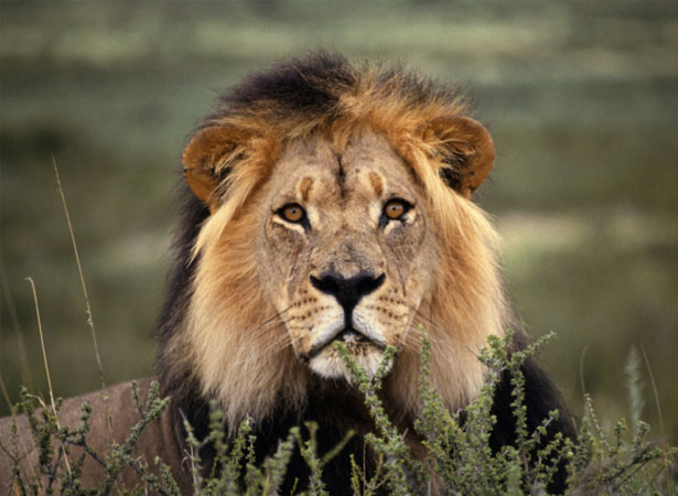 lion down animals lying different body parts leones male lions animal desert alert grass namib wild selva rey imagenes face