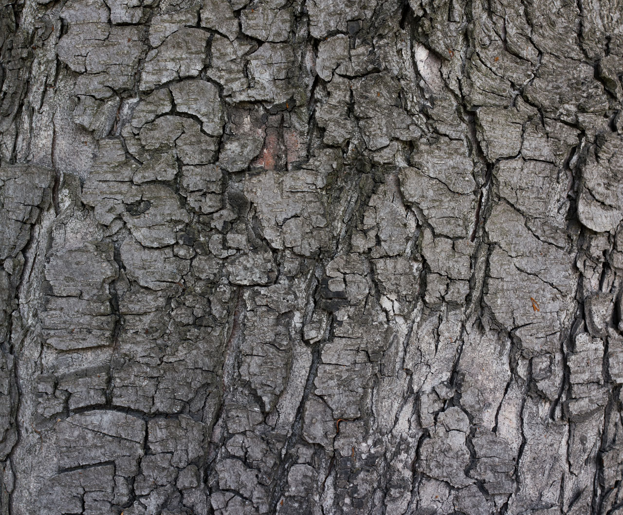 wildtextures_grey-tree-bark